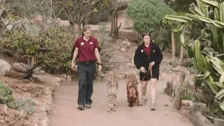 猎豹被母亲遗弃后和狗狗生活在一起, 长大后成了狗狗最大的护盾!