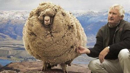 世界上最没骨气的绵羊, 逃跑6年后主动回来要求剪毛, 简直太逗了!