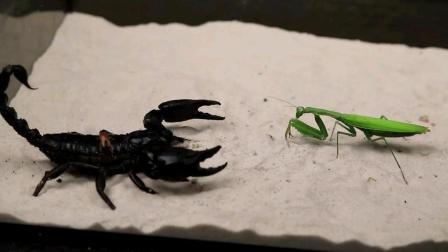 螳螂和蝎子两者狭路相逢谁会取得胜利?
