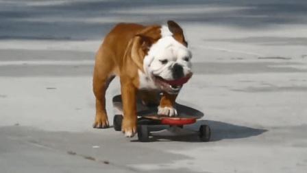 你见过玩滑板的狗子吗? 这只斗牛犬厉害了, 滑板居然玩的这么娴熟!