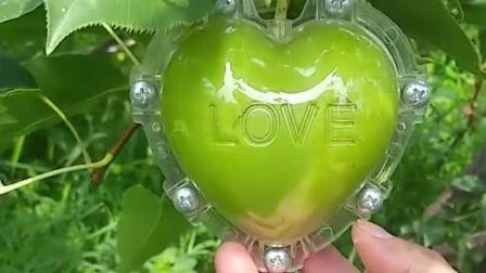 心形苹果, 方形西瓜, 星形黄瓜, 人参果就是这么来的!