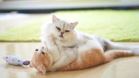 哪来的中华神猫, 还会功夫呢!