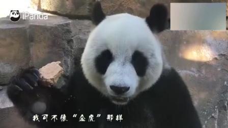 """呆萌熊猫吃窝窝头, 还会讲""""四川话"""", 要不要这么可爱啊"""