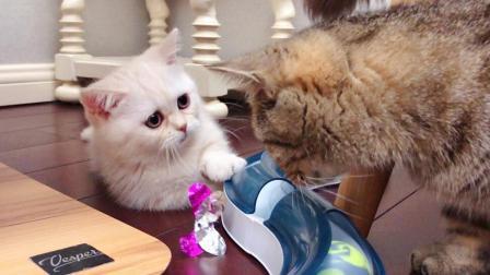 猫猫幼儿园的日常: 大胖猫总抢小猫咪的玩具, 谁还不是个宝宝呢