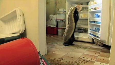 家里养一只平头哥当宠物会发生什么? 比二哈拆家还严重!