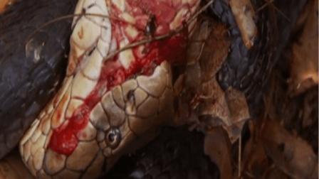 《自然传奇》 5米长的眼镜王蛇求爱被拒, 发现雌蛇怀孕后进行大战
