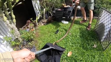 澳洲昆士兰 一户人家的后院闯入了一条剧毒的东部拟眼镜蛇
