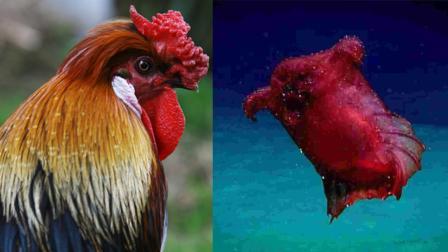 """世界上最罕见的动物, 好像""""无头鸡"""", 很多人都没见过!"""