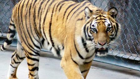 把雄狮与老虎放在一起, 你就知道谁更霸气了, 狮子只能当老二