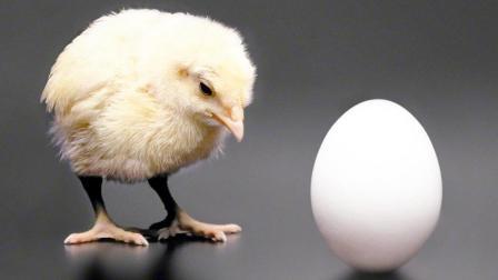 先有鸡还是先有蛋? 科学家已经证实是先有蛋再有鸡