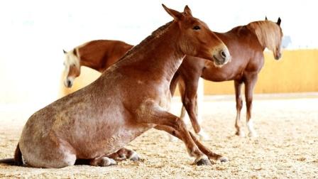 """为什么骡子不能生育? 看看马和驴""""干""""了什么, 真相让人难以启齿!"""
