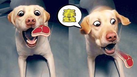 吃货狗子蠢成表情包!蠢成这样有人要吗?