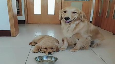 主人说咱家就是一个地瓜了给谁吃, 金毛说给孩子吃, 好棒的母爱