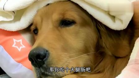 金毛轮胎感冒主人拿火腿也不吃溜溜也不想去, 一听有小母狗叫声