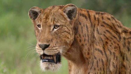 大猫时代1锯齿虎与美洲虎的崛起