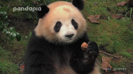 大熊猫奇果圆满: 吃着我们的窝窝头, 拉起友谊的小手手
