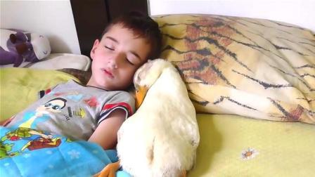 小男孩正在睡觉, 鸭子紧贴着睡在一遍, 鸭子: 谁也不能分开我们