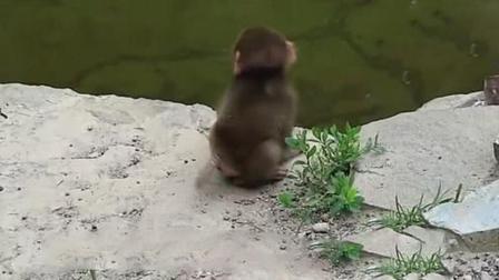 小猴子看见水就往里跳, 如果不是猴妈出手, 估计还在水里泡着