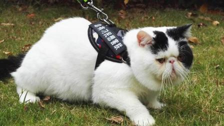 为什么很多人喜欢遛狗, 却没见过有人溜猫呢?