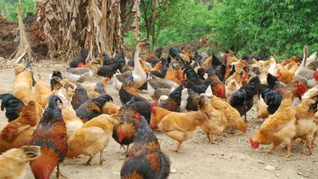 农村养殖家禽鸡鸭鹅, 饲料原料配方介绍