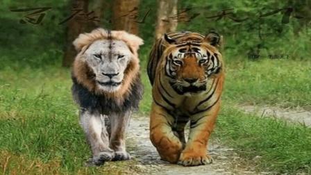 在非洲狮子和老虎哪个更厉害? 科学家给出了这样的解释