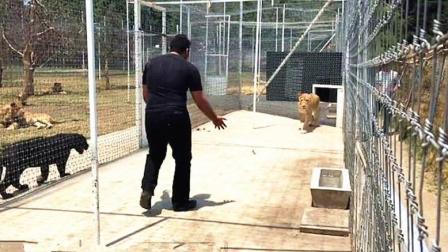 一别十年! 饲养员一回来狮子直接扑过来, 场面感人!