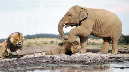 狮群想要捕食小象, 大象的举动却让狮子尴尬, 大象: 再来试试?