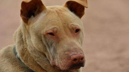 为什么中国土狗不受国人待见, 却在国外十分受欢迎? 答案出乎意料