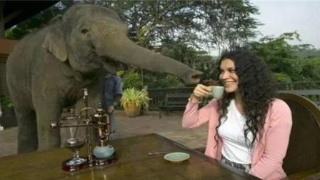 """大象粪便里的""""美食"""", 一公斤卖1200美金, 土豪追求的专属美味!"""