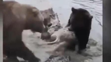 东欧某野生动物园 几只狗熊竟然生吞了一只母狼
