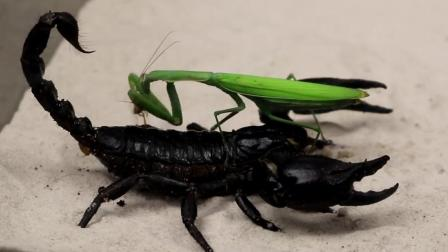 变色龙和黑蝎子捕食大比拼, 谁操作最流弊呢