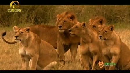 最佳猎手莫查失踪3天, 狮群无奈改变战术, 水牛成功逃进沼泽