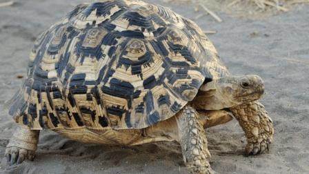 世界上爬行最快的乌龟, 二十秒爬5米, 破吉尼斯纪录!