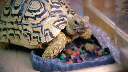 真香~豹龟的一餐, 快放了一倍依旧感觉很慢