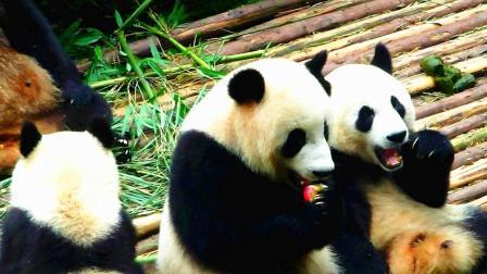 国宝大熊猫也是拼了, 为了一只苹果, 尽心尽力给饲养员擦鞋