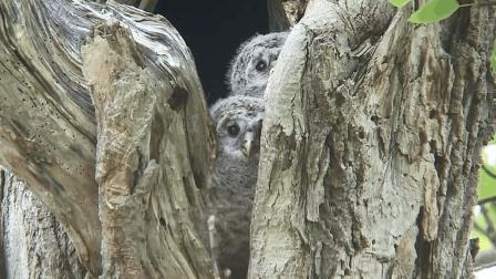 树洞里有两只盼望着妈妈回来的猫头鹰, 好想把它抱走呀!