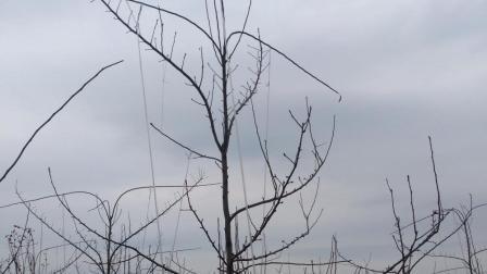 梨树单鞭模式分层形短截中心干