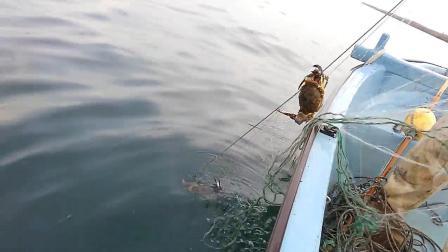 粘网捕捉梭子蟹, 螃蟹被缠住了就无法跑了!
