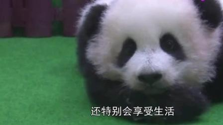 五个月的熊猫宝宝在国外亮相, 把小爪子从脸上拿开后, 老外沸腾了