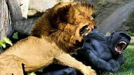 非洲雄狮大战银背大猩猩, 谁更厉害?
