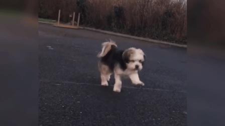 走路姿势这么可爱, 可能真的是一只很快乐的狗狗吧!