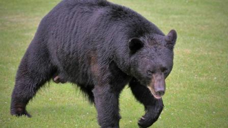 这是能打败黑熊的狗, 号称猎犬之王, 分分钟把美洲狮秒杀成渣!