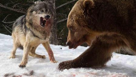 灰熊虽外表憨厚, 面对强敌却一点也不怂, 镜头就拍下灰熊独战群狼