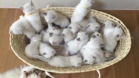 母猫生了14只小猫咪, 每次喂奶主人都笑, 母猫: 感觉身体被掏空