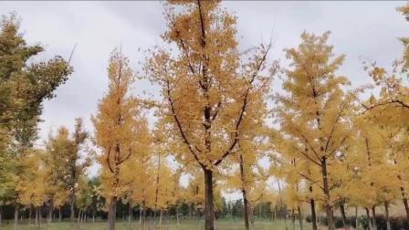 风光短片: 游西安渭河城市运动湿地公园, 赏秋色