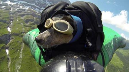 都见过人翼装飞行的, 但头一次见到狗翼装飞行的, 快来看一看吧!