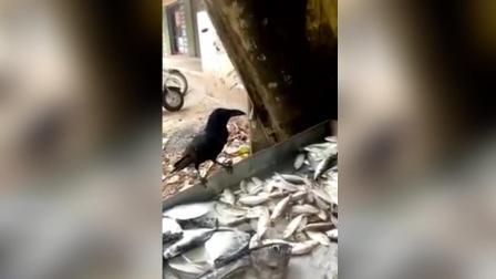 贪婪乌鸦每天向鱼贩讨鱼 给小的还拒收