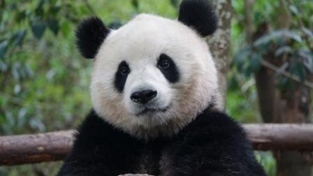 大熊猫生气有多可怕? 这点连老虎都比不上, 看了你就明白了!