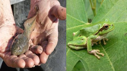世界上最大的蝌蚪, 全长25厘米, 变成青蛙后尴尬了!