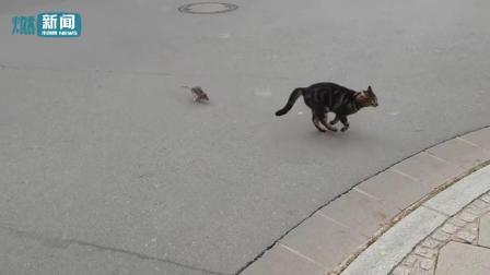 """一只猫被老鼠追了半条街! 街头市民拍下惊人""""猎食""""全过程"""